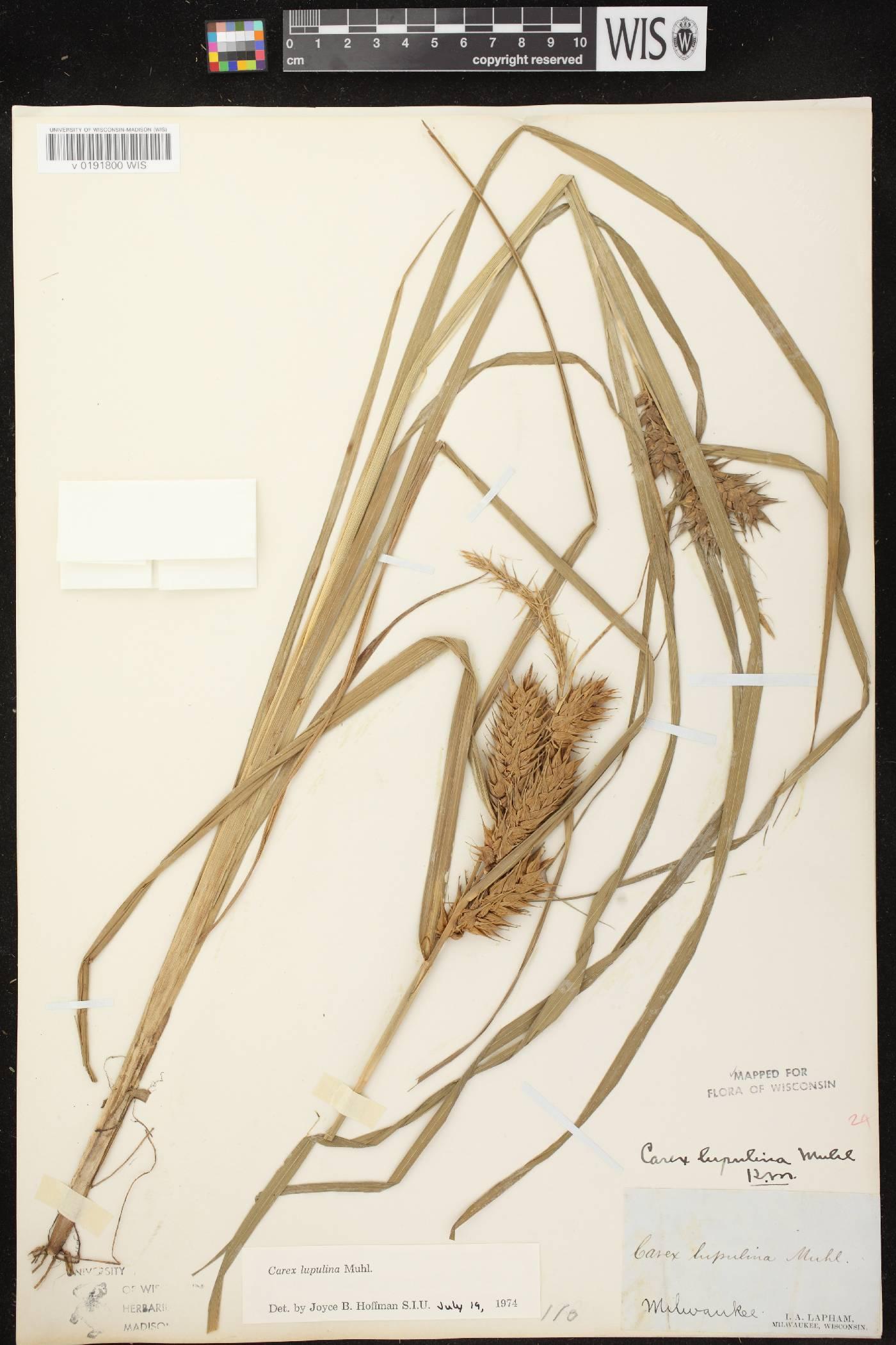 Carex lupulina image