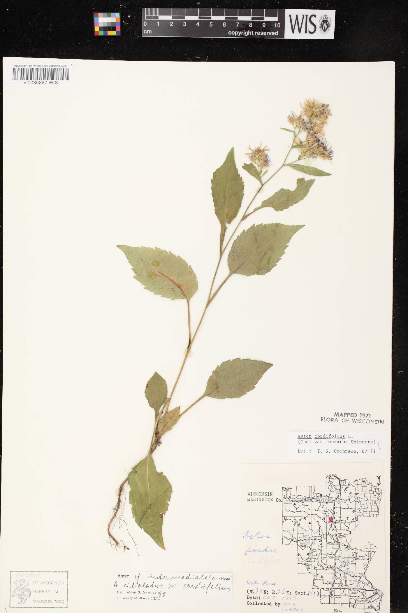 Symphyotrichum ciliolatum X S. cordifolium image