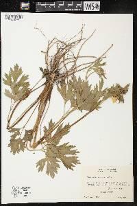Ranunculus hispidus var. nitidus image
