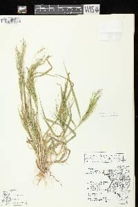 Panicum philadelphicum subsp. philadelphicum image