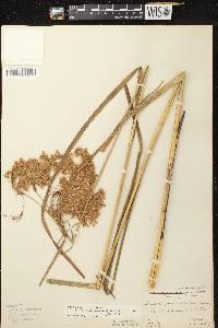 Scirpus pedicellatus image