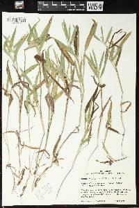 Image of Dichanthelium oligosanthes