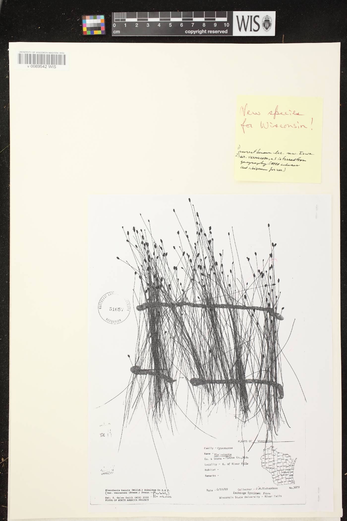 Eleocharis tenuis var. verrucosa image