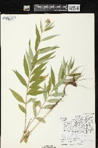 Helianthus giganteus image