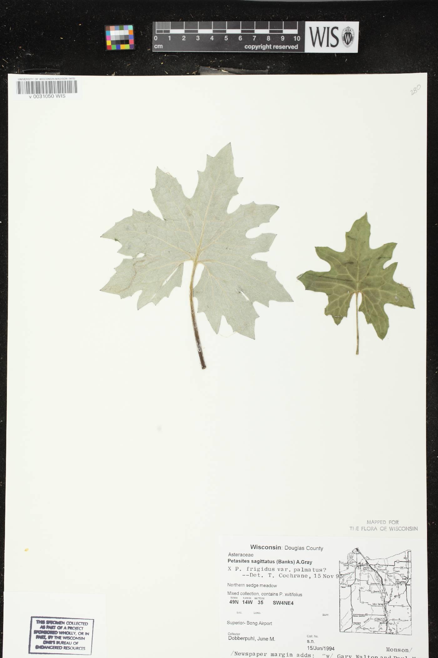 Petasites frigidus var. vitifolius image