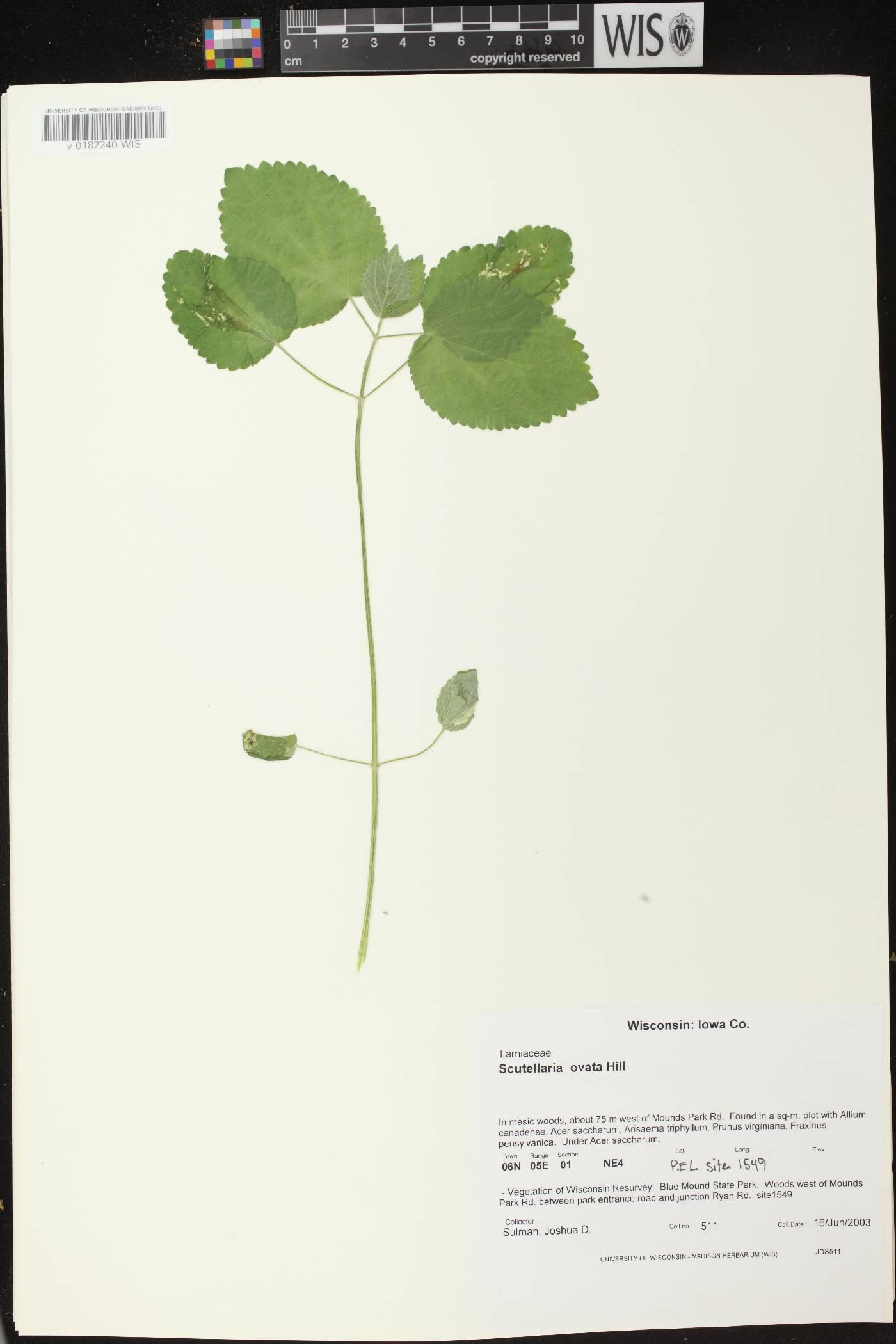 Scutellaria ovata subsp. ovata image
