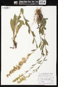 Solidago simplex subsp. randii var. gillmanii image