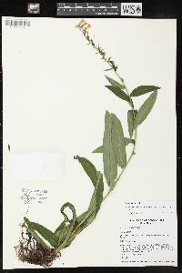 Image of Digitalis lutea