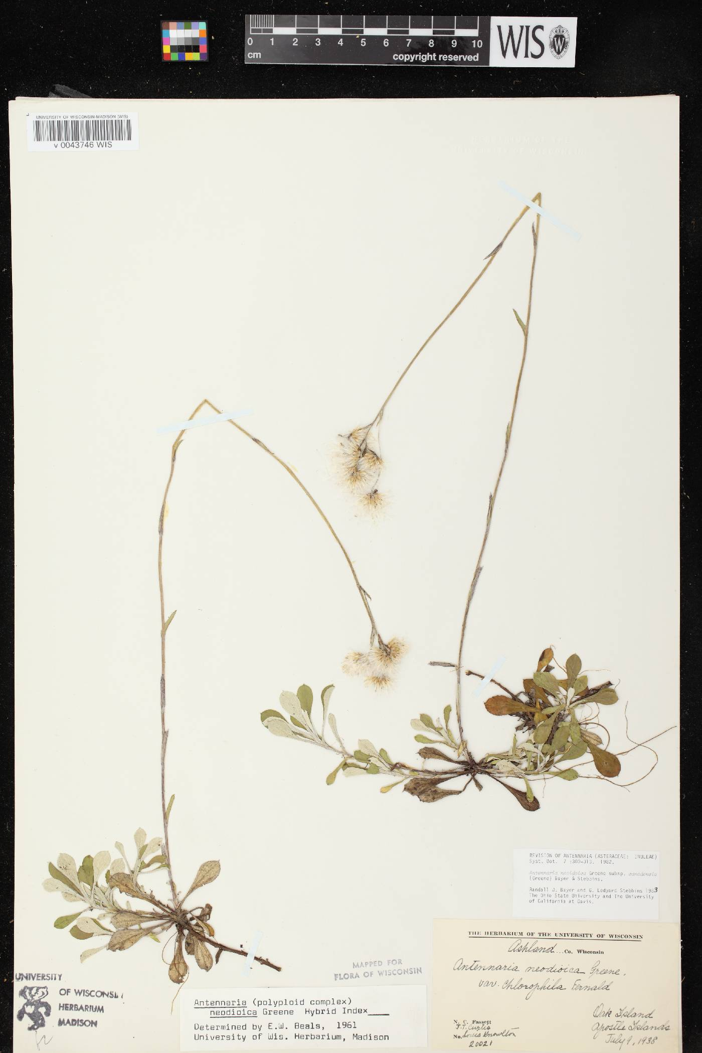 Antennaria howellii subsp. canadensis image