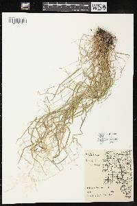 Agrostis perennans image