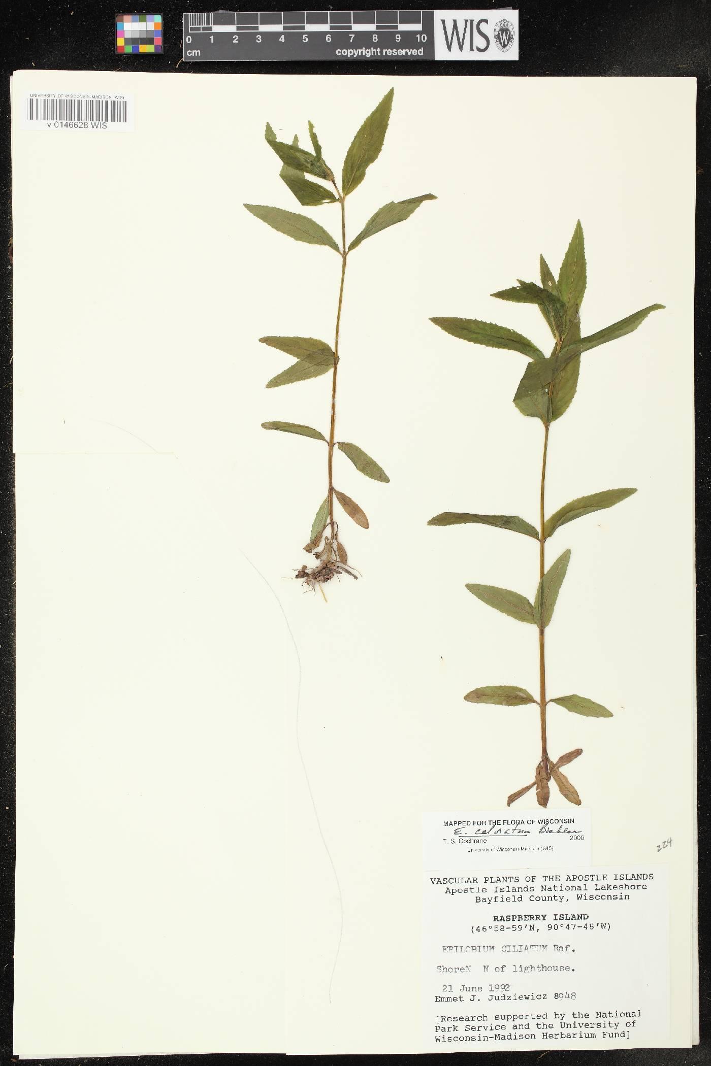Epilobium coloratum image