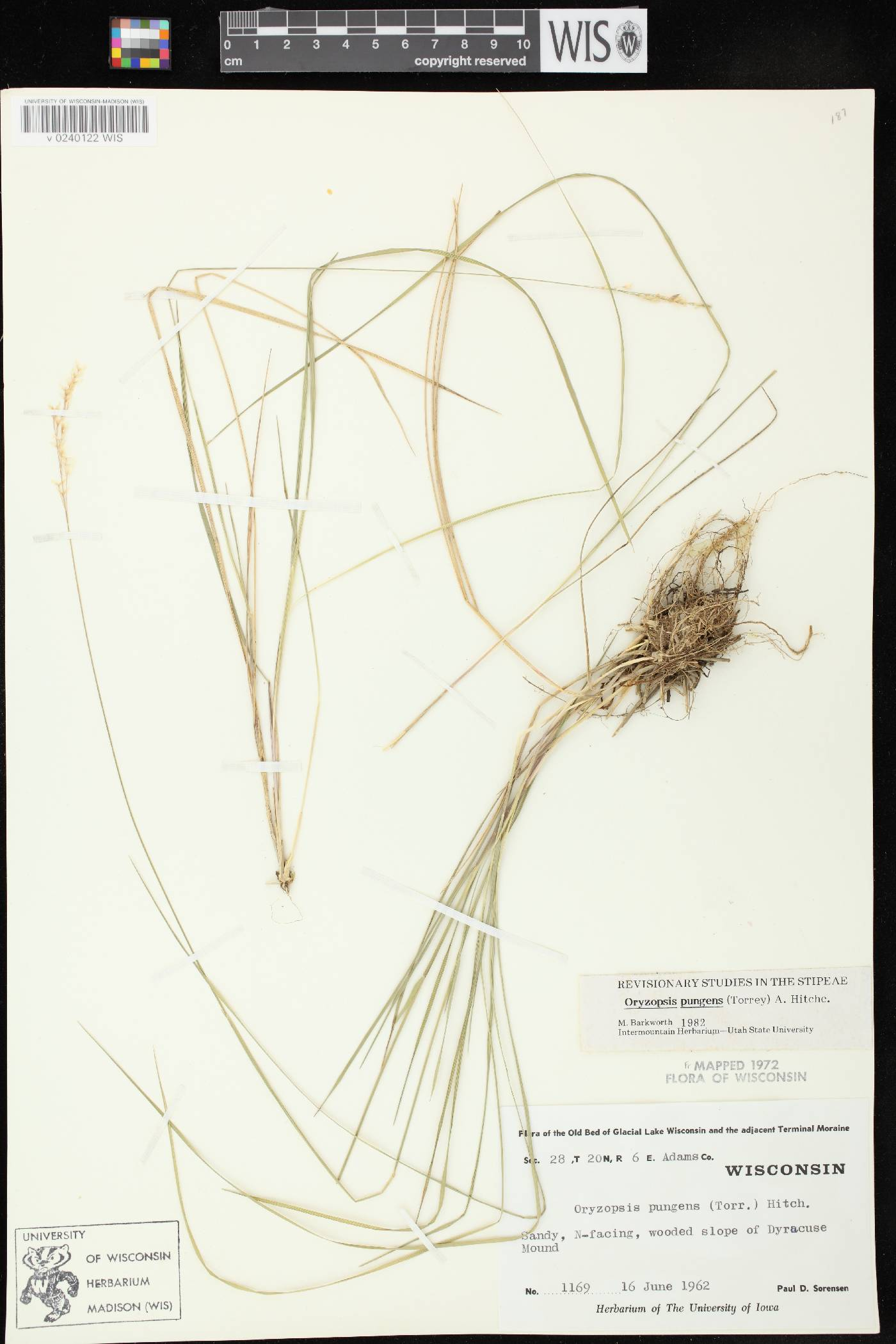 Piptatheropsis pungens image