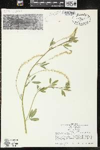 Melilotus albus image