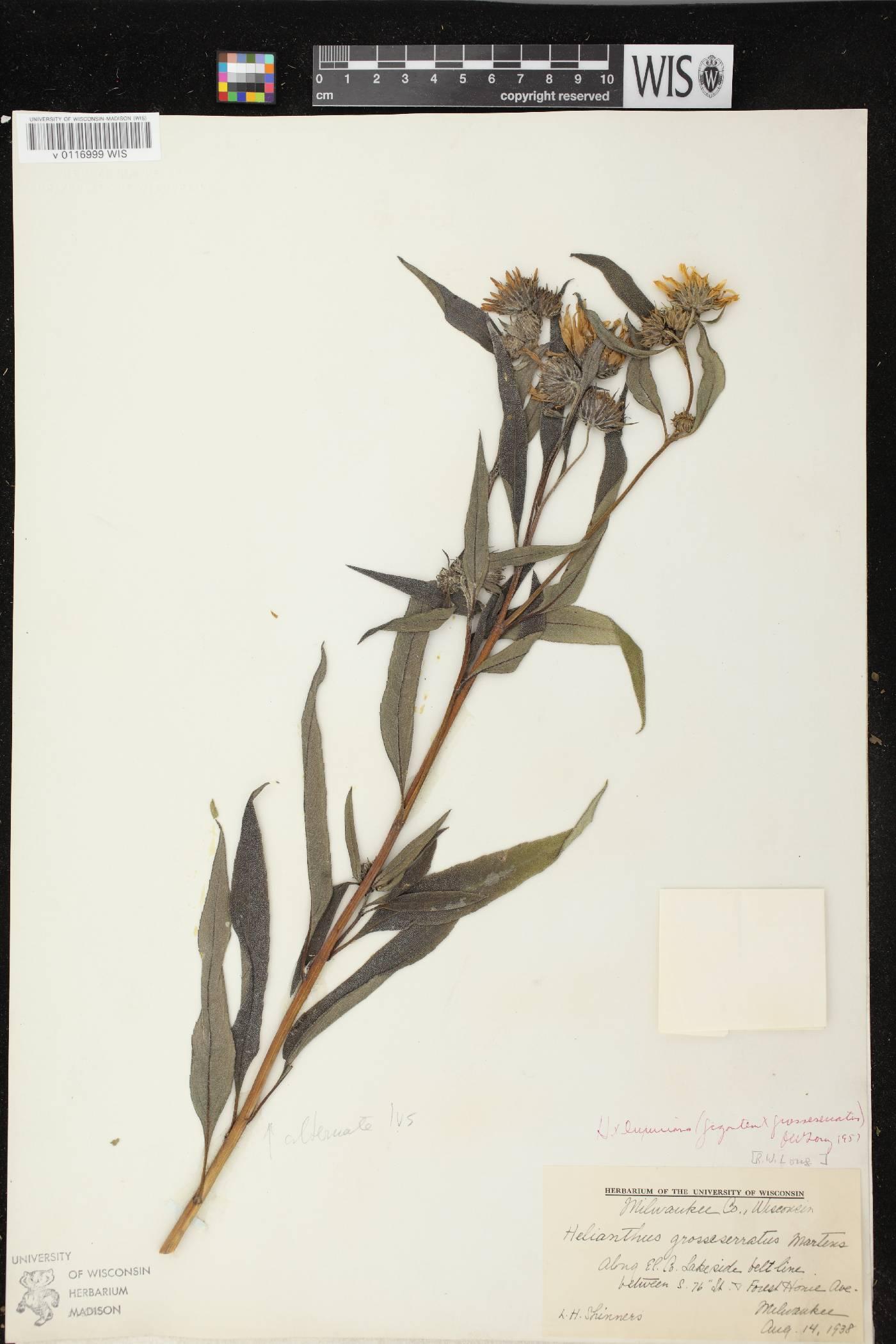 Helianthus X luxurians image