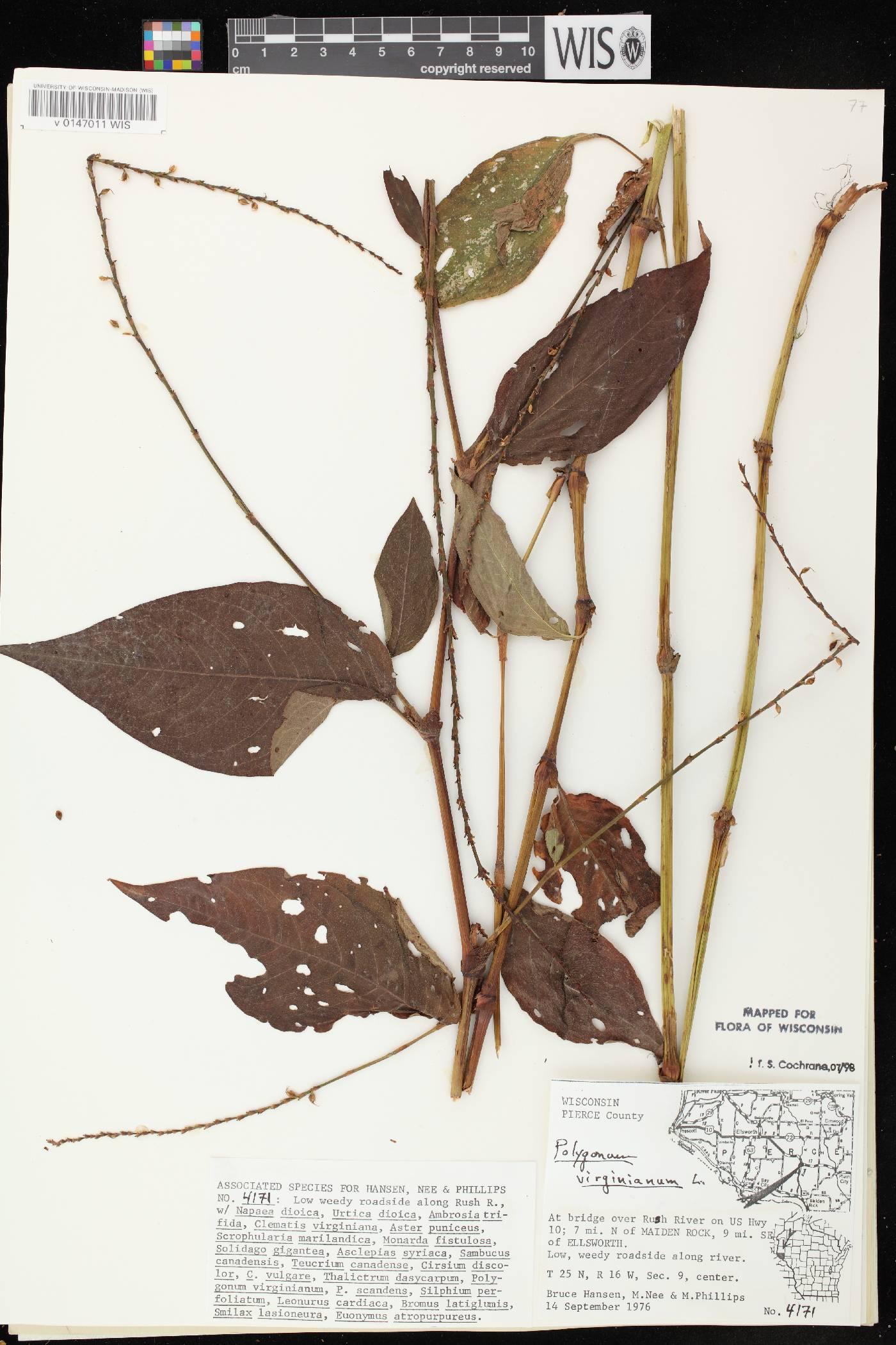 Persicaria virginiana image