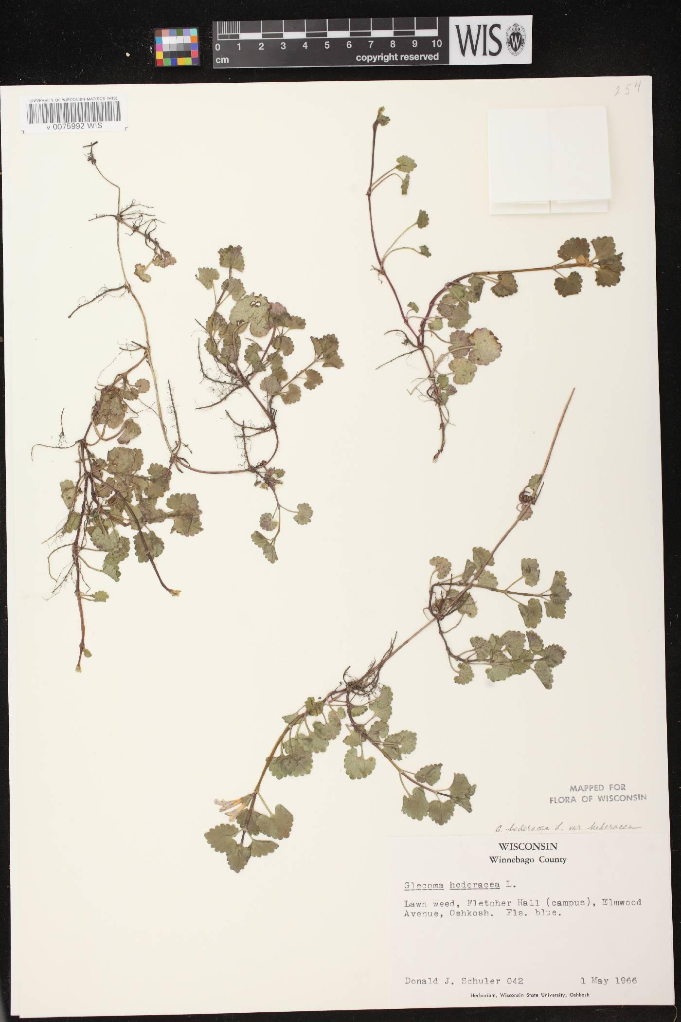 Glechoma hederacea var. hederacea image
