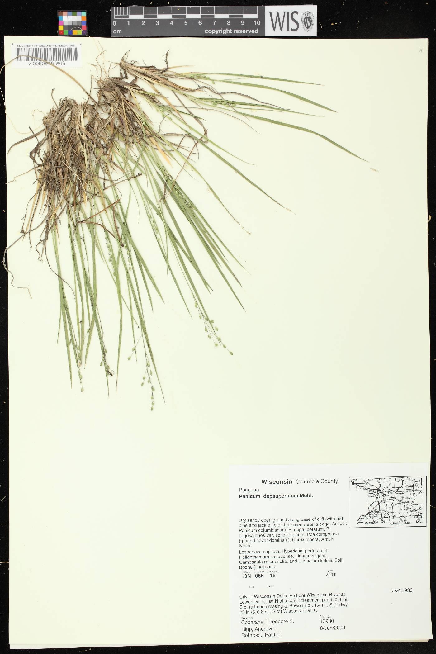 Dichanthelium depauperatum image