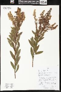Image of Spiraea alba