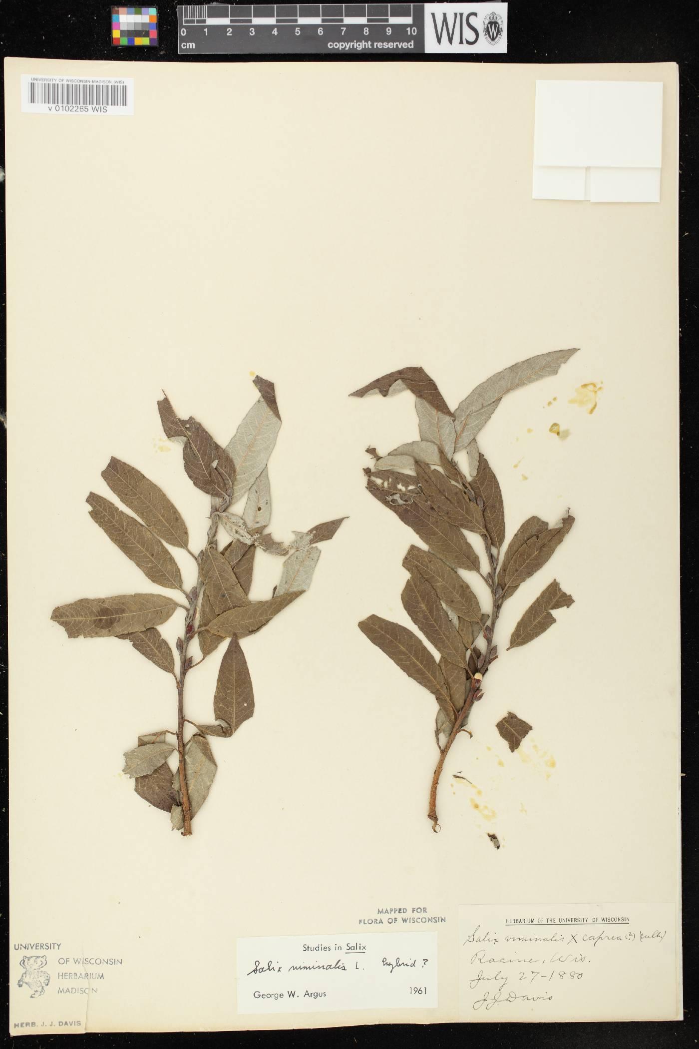 Salix x smithiana image