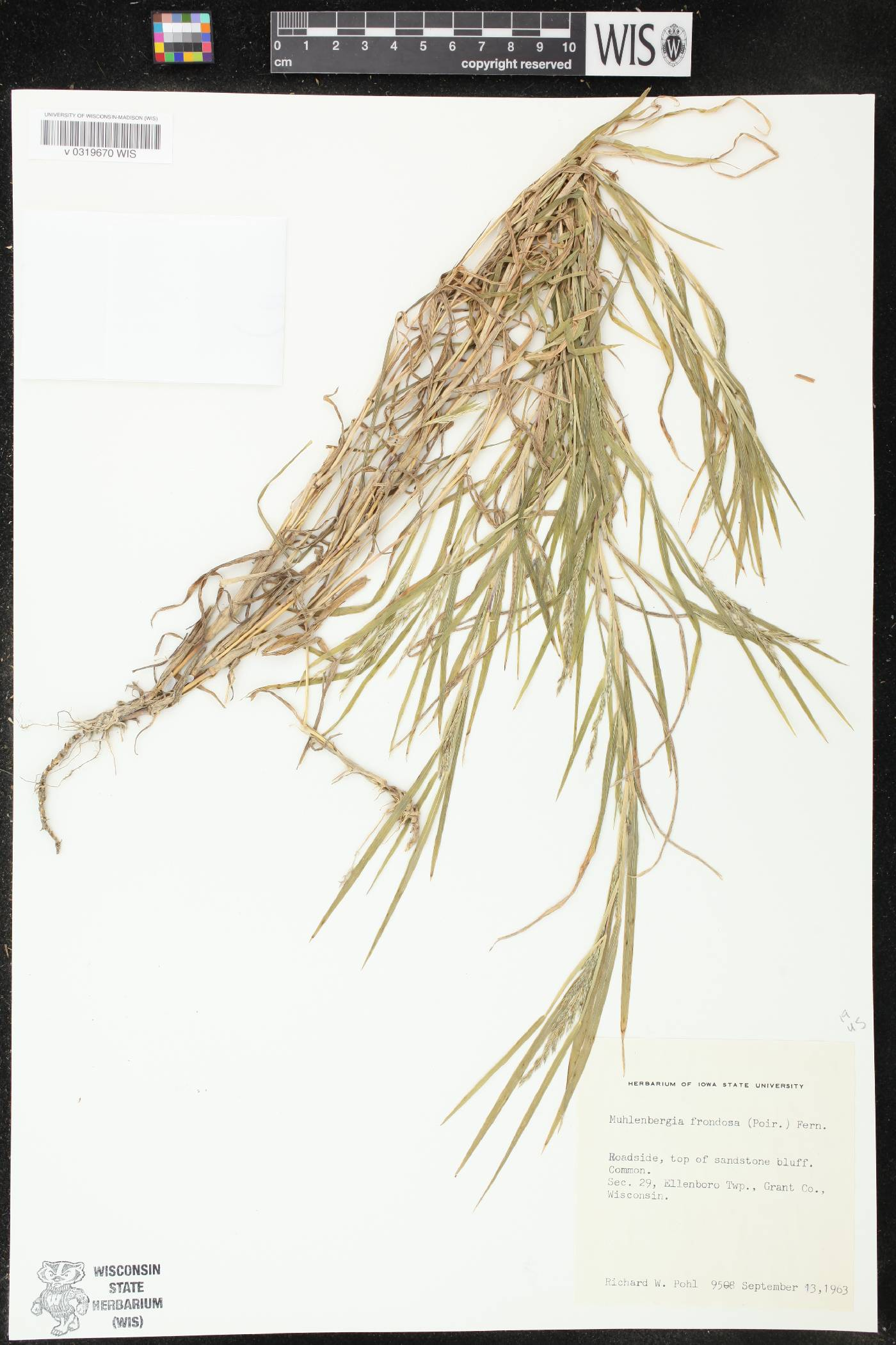 Muhlenbergia frondosa image