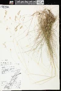 Avenella flexuosa image
