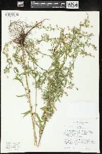 Symphyotrichum ontarionis var. ontarionis image