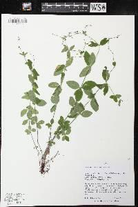 Image of Galium circaezans