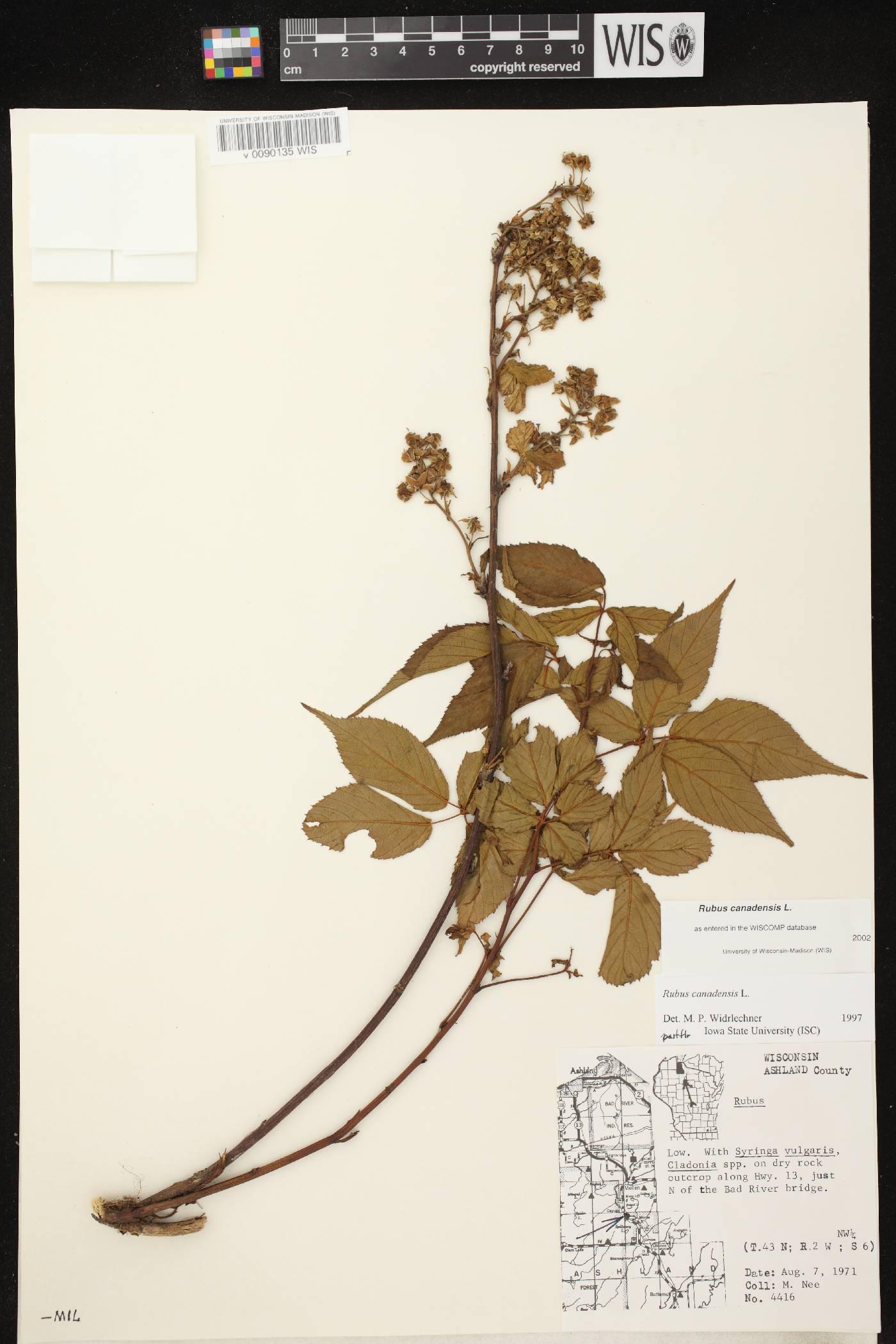 Rubus canadensis image