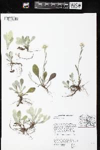Image of Antennaria
