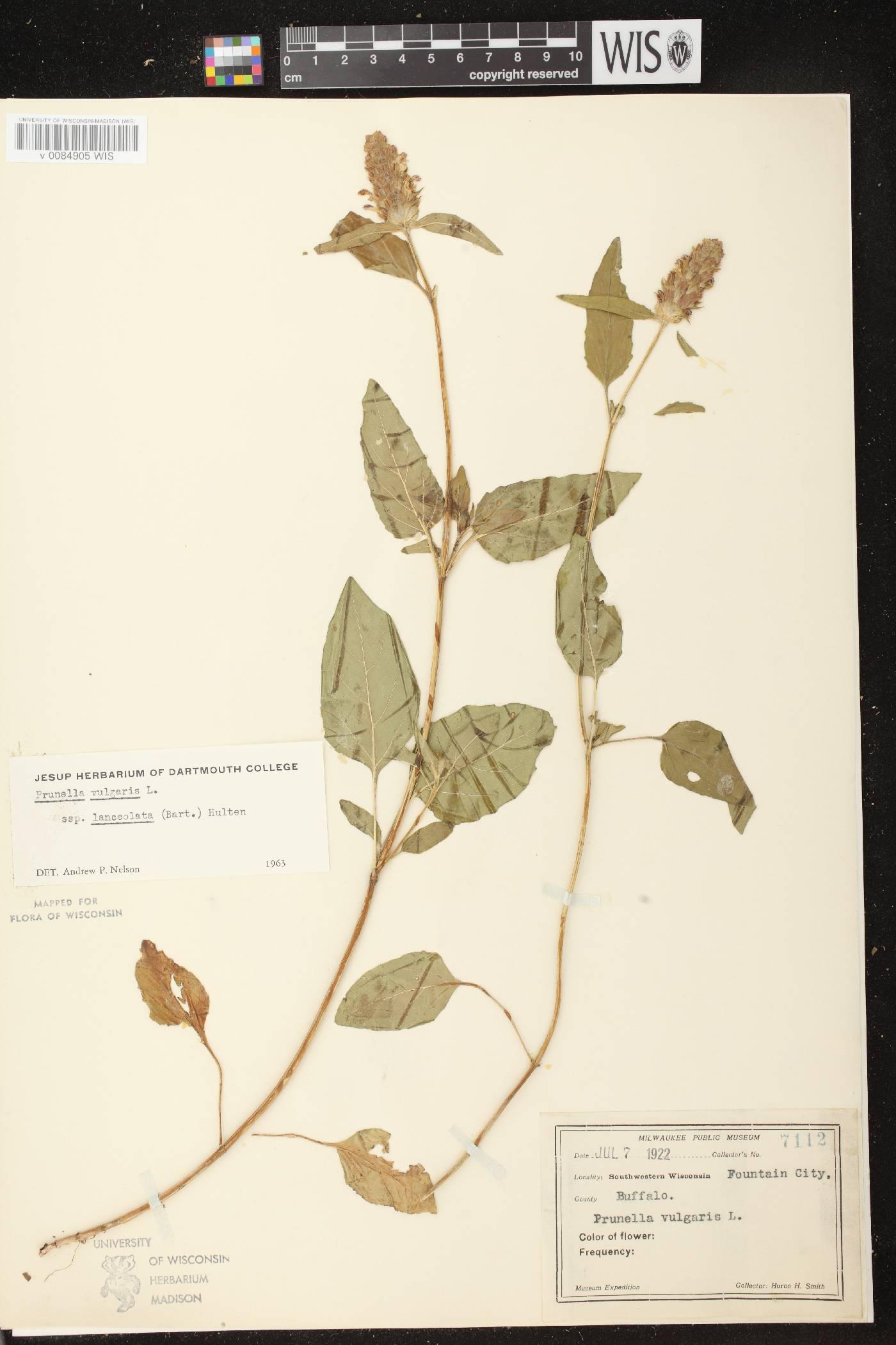 Prunella vulgaris subsp. lanceolata image