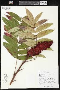 Image of Rhus x pulvinata