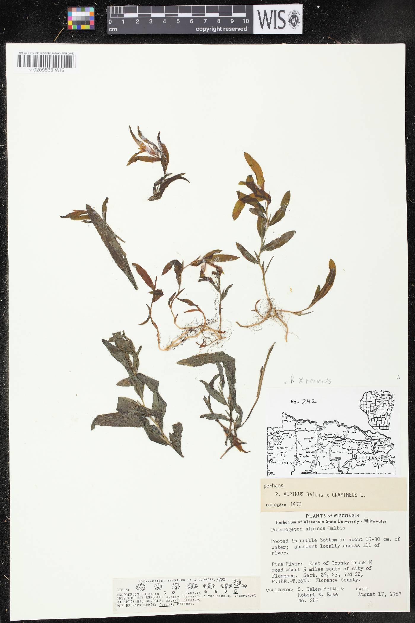 Potamogeton x nericius image