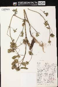 Galeopsis tetrahit var. bifida image