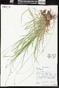 Image of Carex deweyana