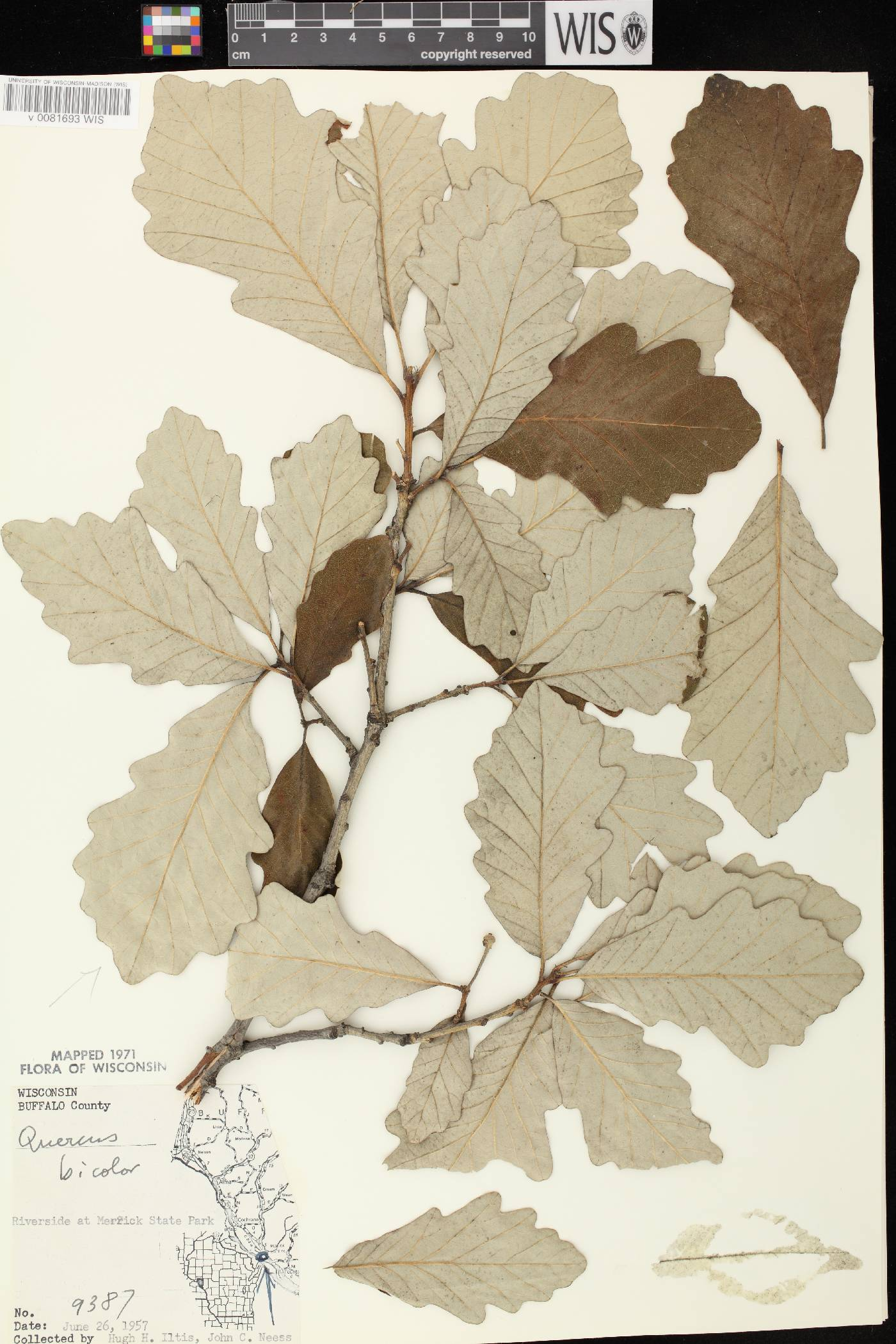 Quercus bicolor image