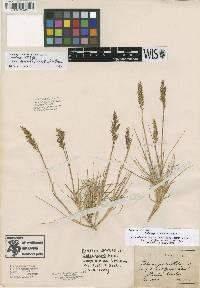 Image of Calamagrostis stricta subsp. stricta