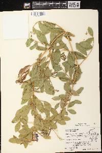 Lathyrus japonicus image