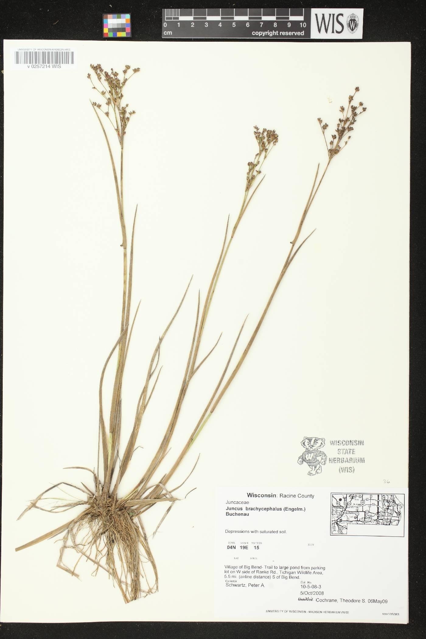 Juncus brachycephalus image