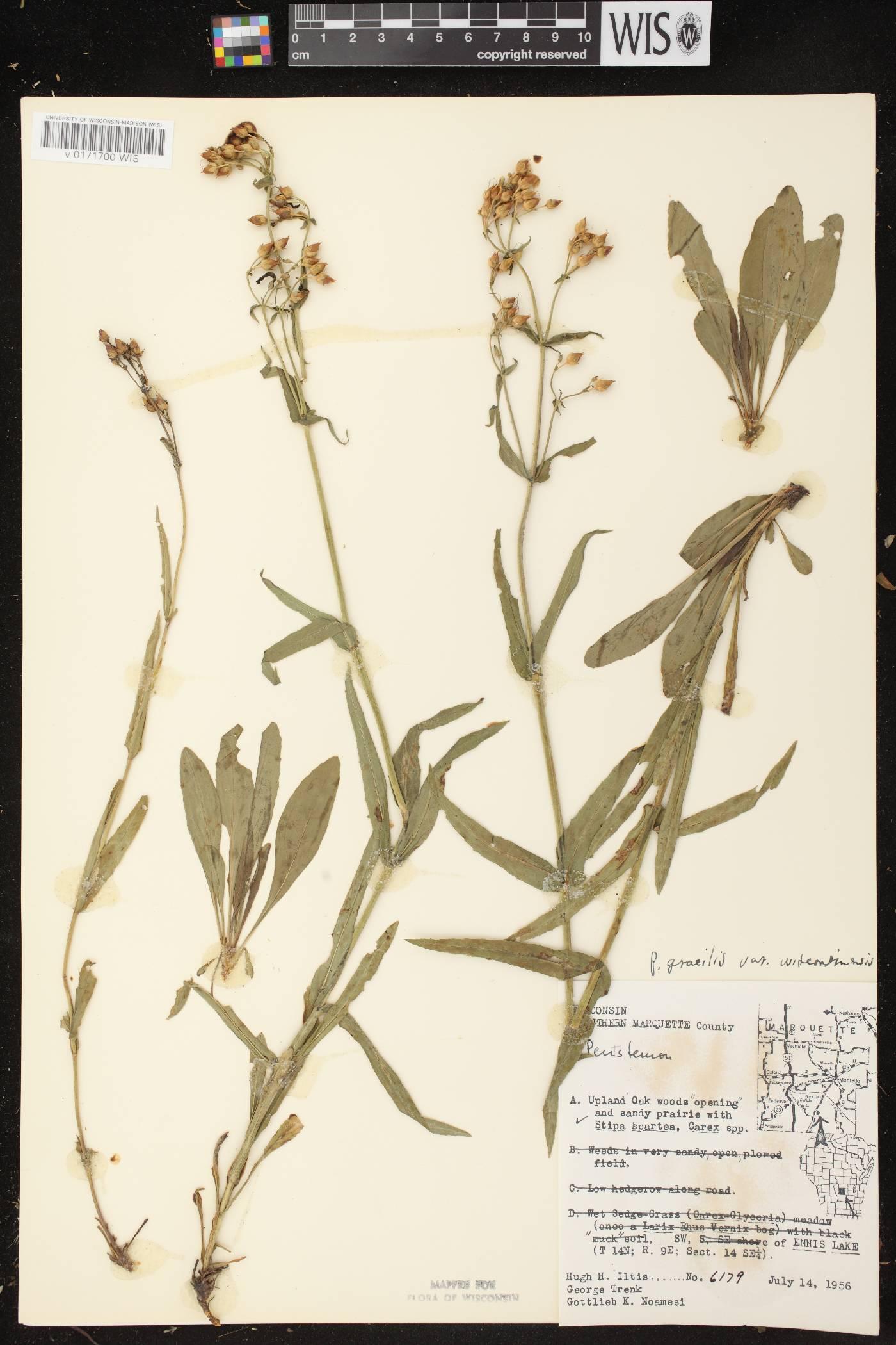 Penstemon gracilis subsp. wisconsinensis image