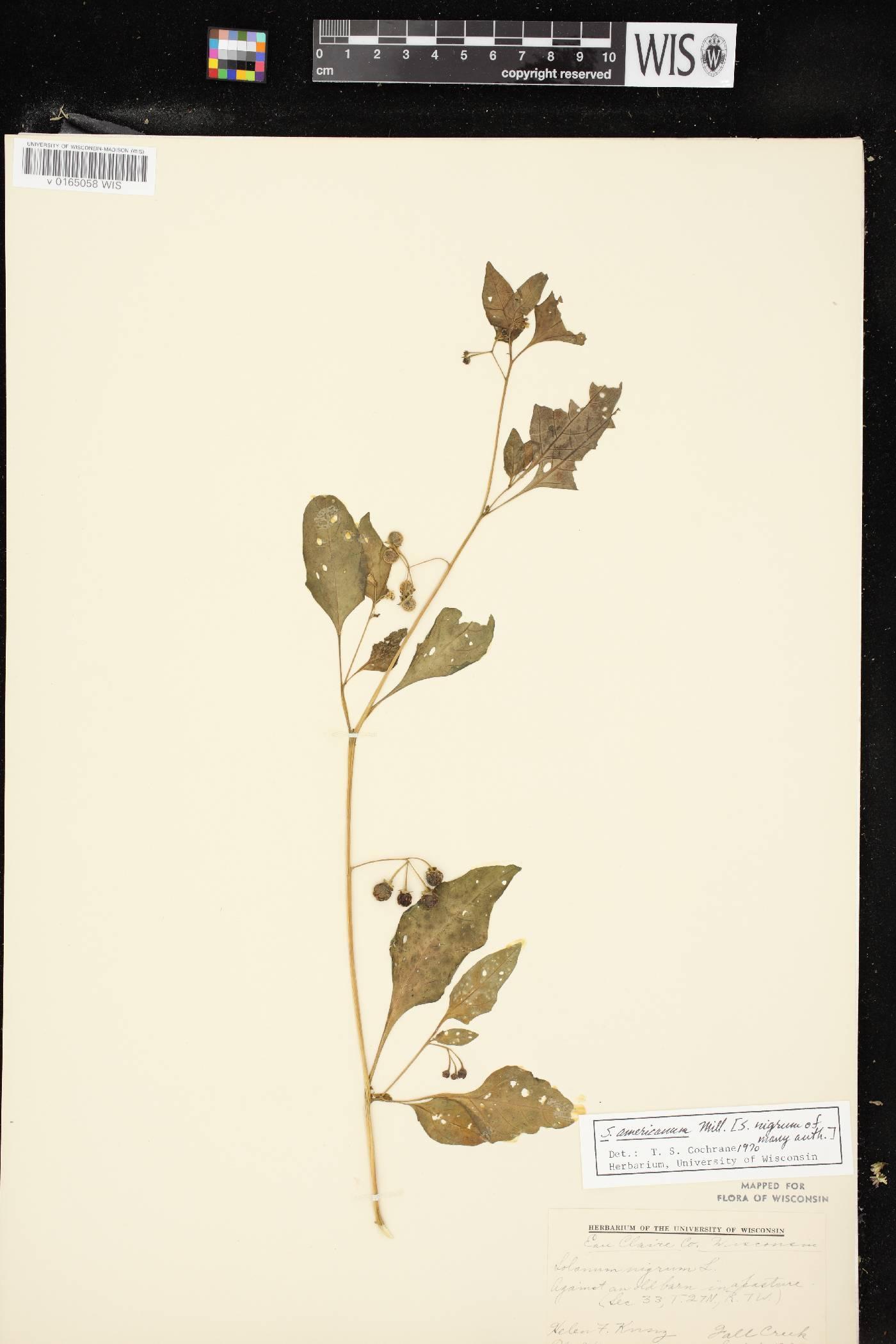 Solanum ptychanthum image