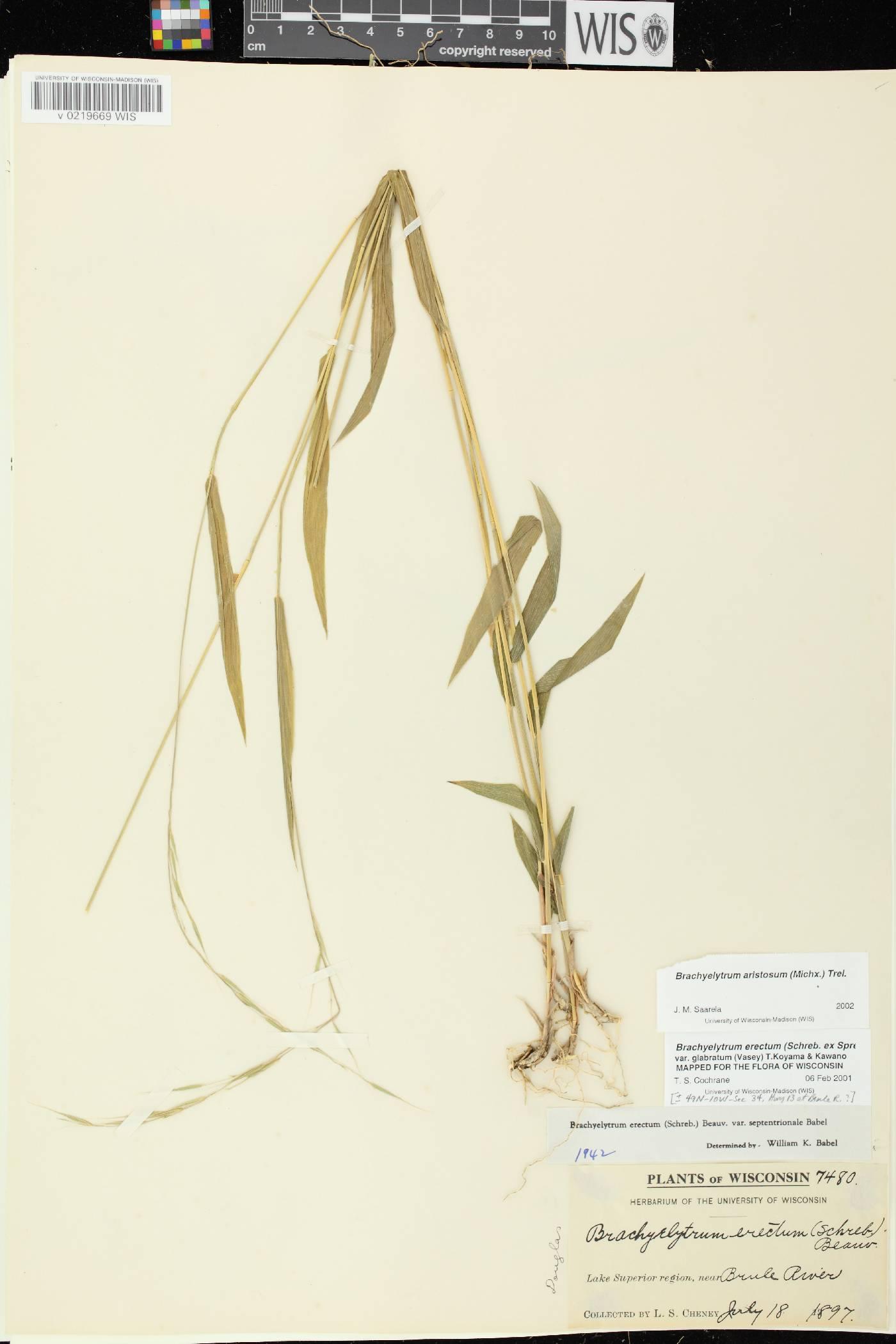 Brachyelytrum aristosum image