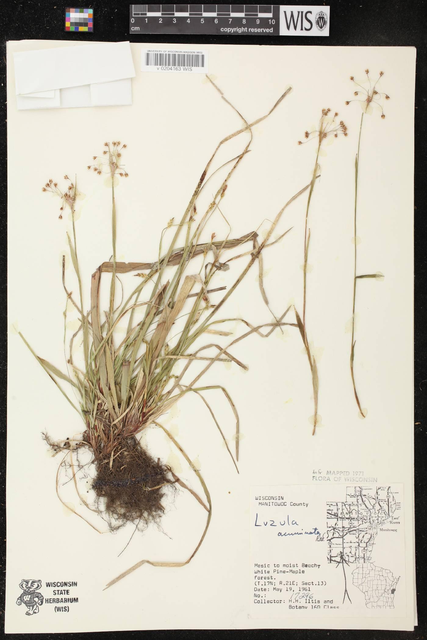 Luzula acuminata var. acuminata image