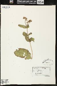 Image of Eupatorium sessilifolium