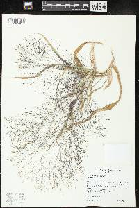 Image of Panicum capillare