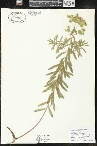Euphorbia virgata image