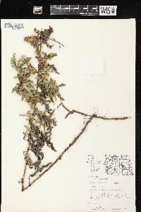 Cirsium arvense image