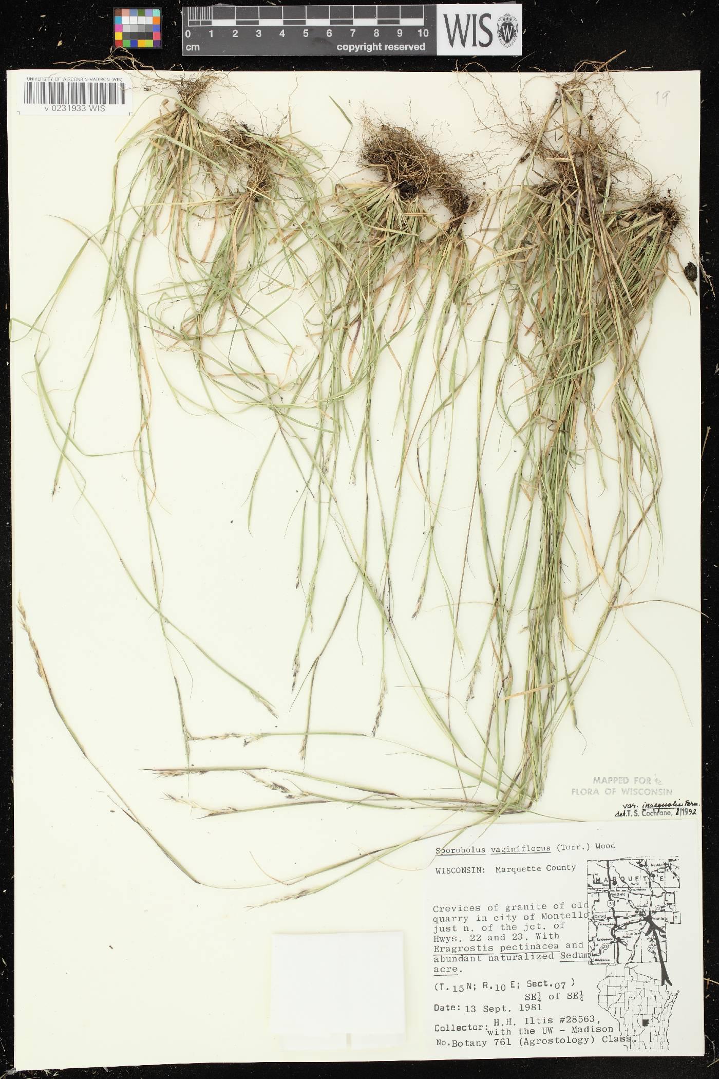 Sporobolus vaginiflorus var. vaginiflorus image