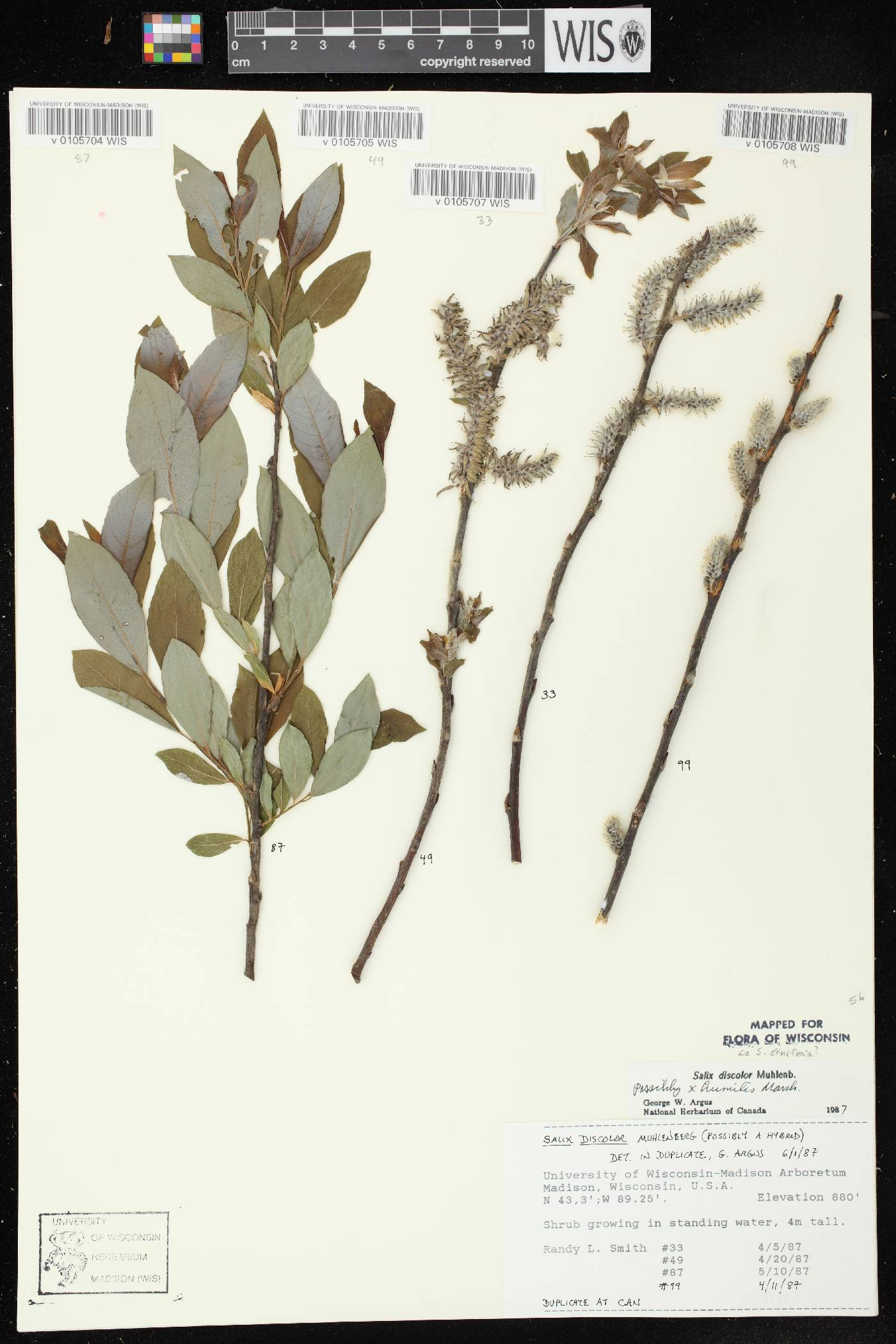 Salix x conifera image