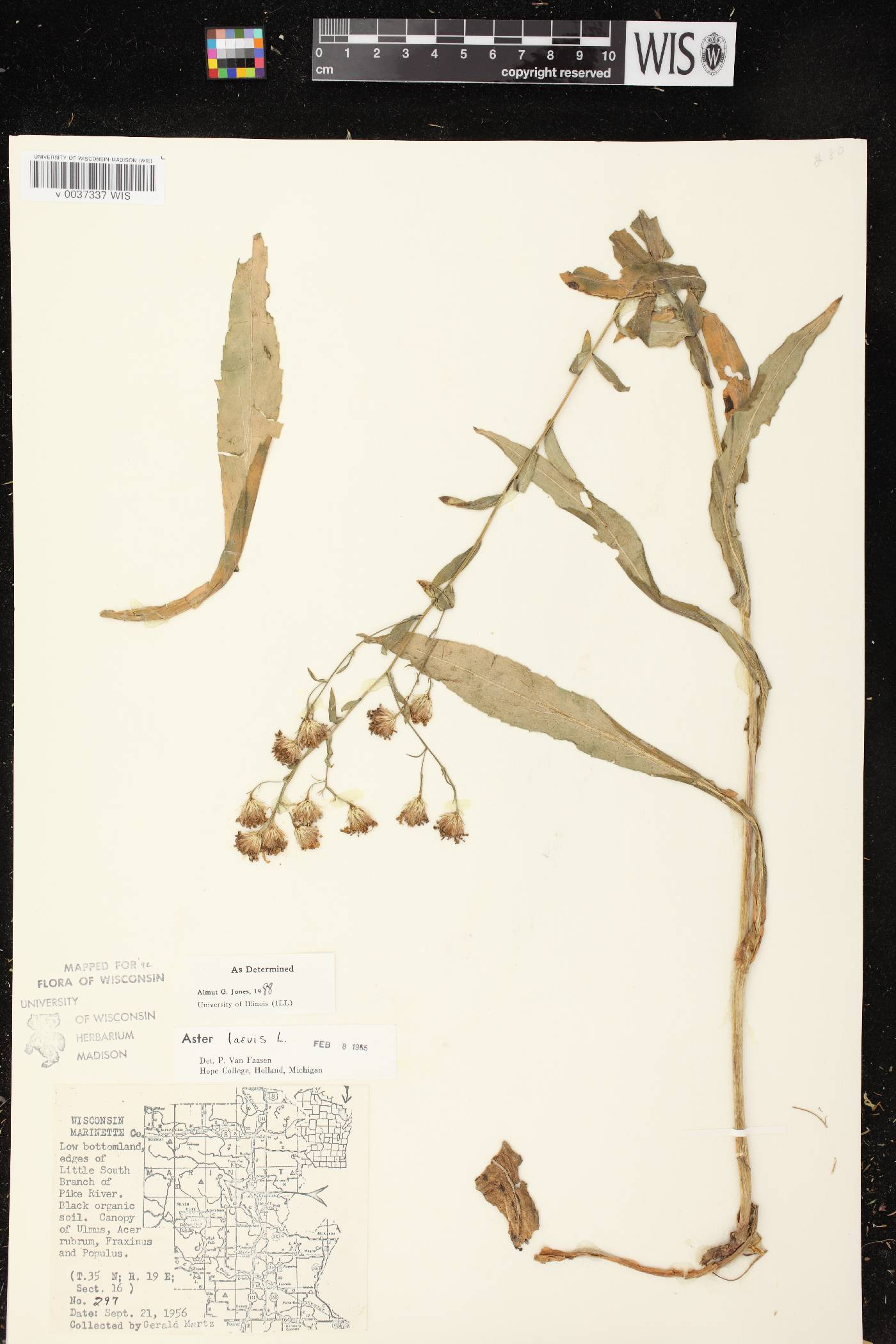 Symphyotrichum laeve var. laeve image