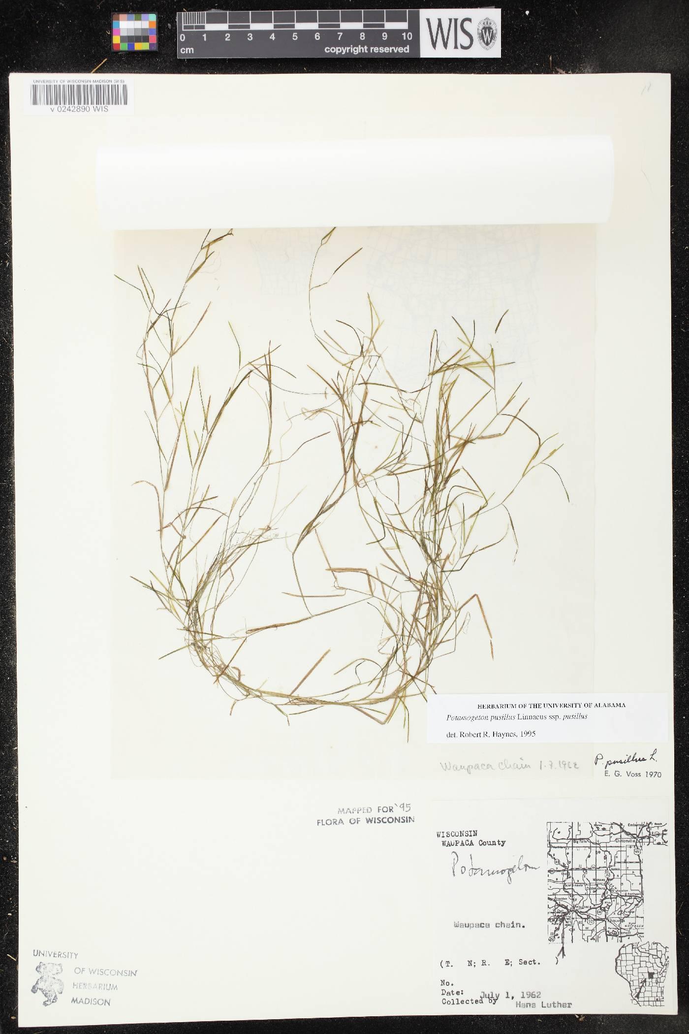 Potamogeton pusillus subsp. pusillus image